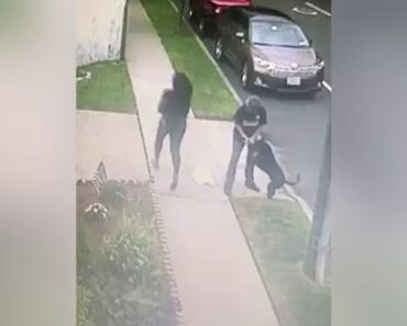 Video shows pit bull attack on woman, Chihuahua pups
