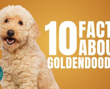 10 Facts About Goldendoodle | Dogs 101