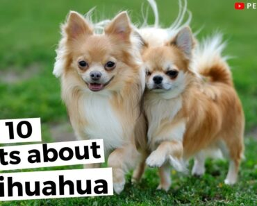 Top 10 Facts About Chihuahuas You Need To Know |