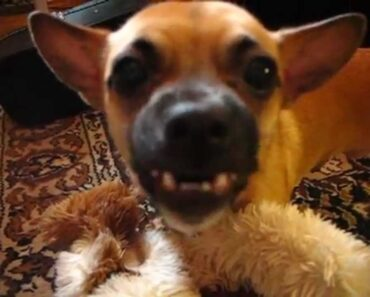Funny Chihuahua Compilation
