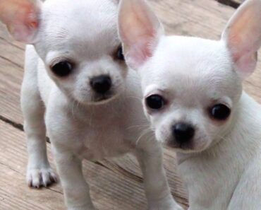 Want to know how to house train a Chihuahua –