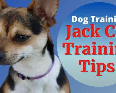 Jack Russell Chihuahua Mix- Jack Chi Dog Training