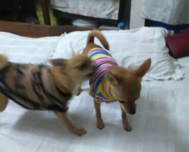 Sweet,cute,naughty chihuahua & little chihuahua: Deer head chihuahua & apple