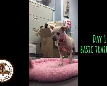 Training Chihuahua shelter dog