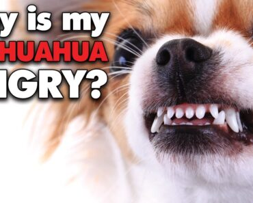 Why is my Chihuahua SO angry? What can I do