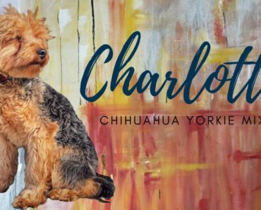 Best Chorkie Trainers in PA ||| 1 year old Chihuahua/Yorkie