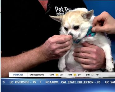 Pet of the week: Seeley is a happy-go-lucky chihuahua mix