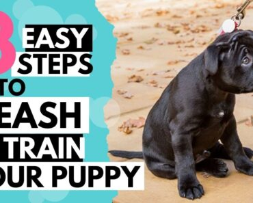 How to leash train your puppy or dog
