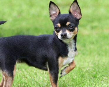 Chihuahua Characteristics