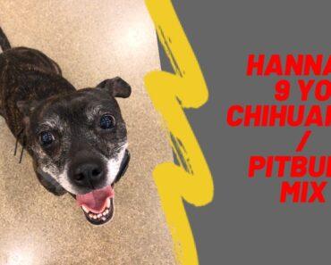 Hannah | 9 Year Old Chihuahua