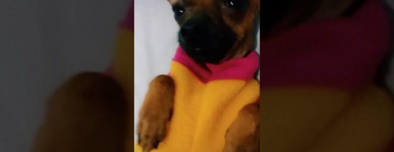#bondia #Chihuahua #puppy #love
