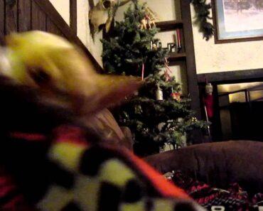 chihuahua being naughty