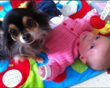 Cute Little Chihuahua Dogs Take Care And Protecting Baby Videos