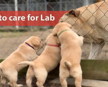 Important Tips on Labrador Care
