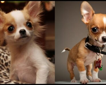 Cutest Teacup Chihuahua Compilation & Facts Video