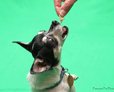 Funny Chihuahua Dog, Bea, Dances and Struts Her Stuff for