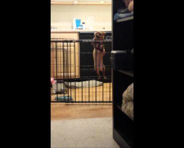 Naughty Chihuahua climbs her gate