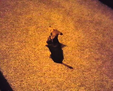 Naughty chihuahua won't dance