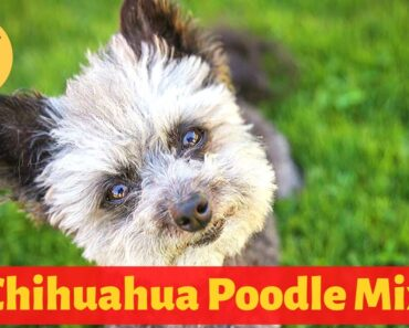 Interesting and Shocking Facts about the Chihuahua Poodle Mix
