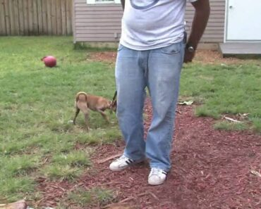 Dog Training & Care : When Does a Chihuahua Stop