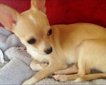 Funny Chihuahua Puppy and a Ferret playing (鼬 & 小狗)