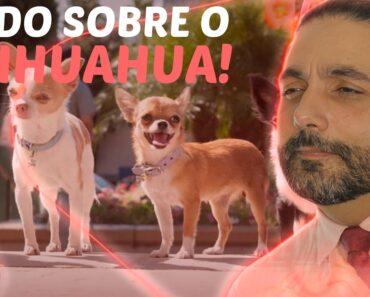 Quer saber mais sobre o Chihuahua?