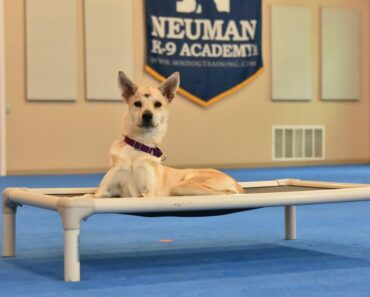Maple (Chihuahua/Siberian Husky Mix) Boot Camp Dog Training Video Demonstration