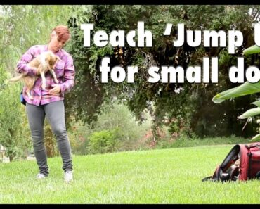 Train your little dog to jump up into your arms!
