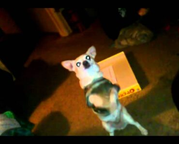 Chihuahua dancing to Naughty by Nature