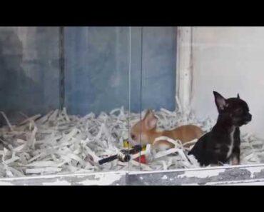 Cute Chihuahua puppies relaxing