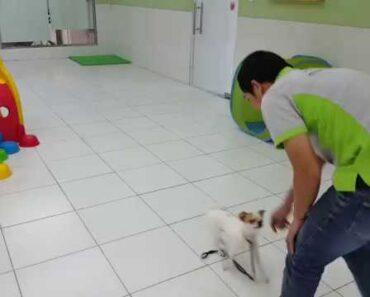 Dog Training (Chihuahua)