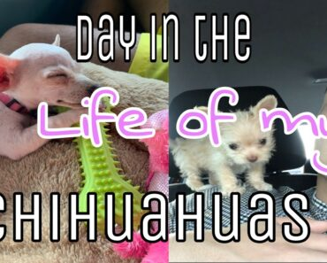Day in the life of my dog : chihuahua, training