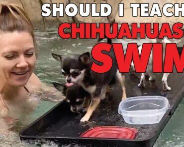 Can you teach a Chihuahua to swim? Part 1 |