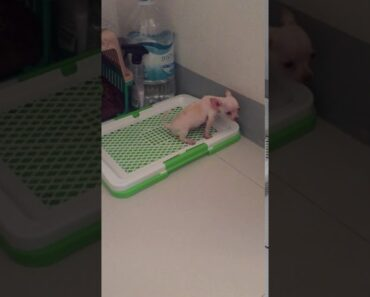 2 months old Chihuahua learning to urinate/defecate on her potty