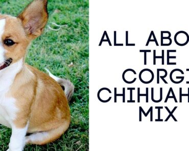 All About The Corgi Chihuahua Mix (Chigi): Ultimate Guide