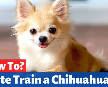 How to Crate Train a Chihuahua?