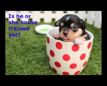 How to House Train Chihuahua Puppies